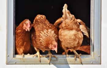 chicken-3662513_1280