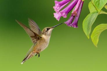 plants-attract-hummingbirds.jpg